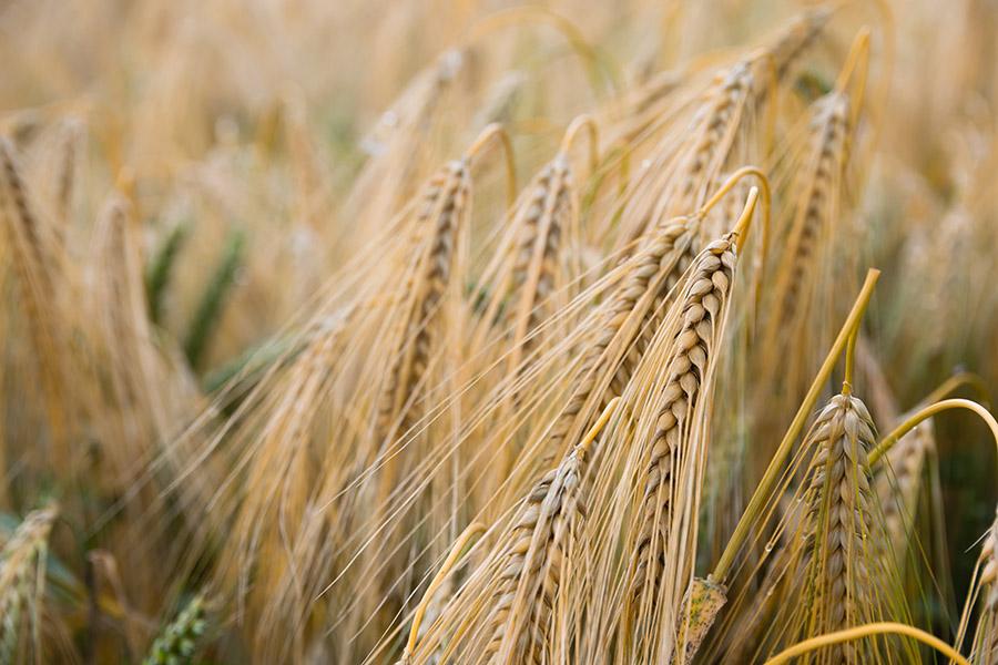 Skup nasion żyta