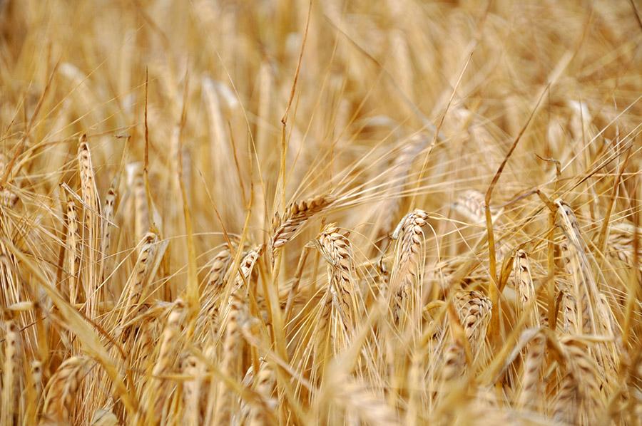 Skup nasion pszenżyta