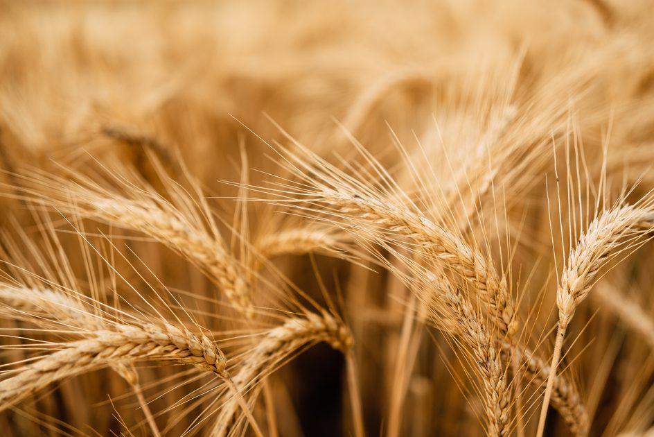 Skup nasion jęczmienia